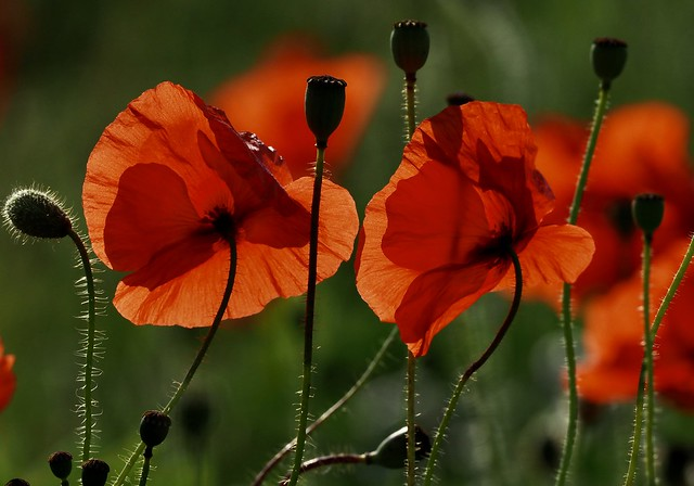 Back-lit Poppies. Close to the rail track. Nene Valley.