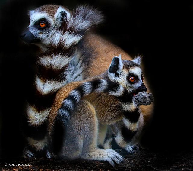 Lemur catta and her cub, Ring tailed lemur family  Gyűrűs farkú maki család Ring-ουρά κερκοπίθηκος (catta λεμούριος)