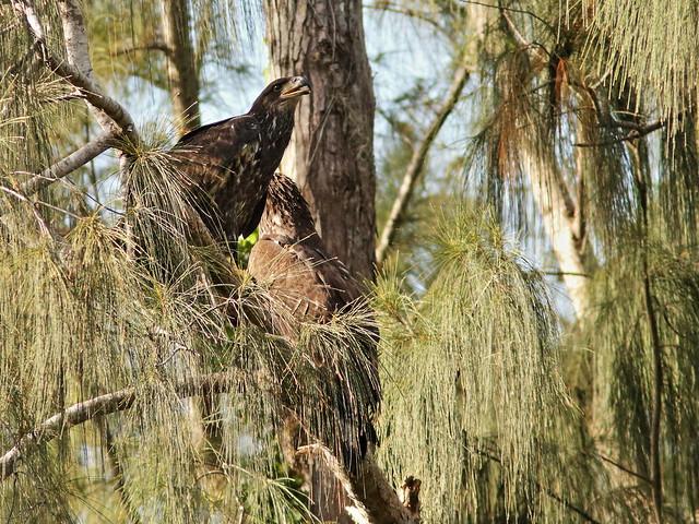 Bald Eaglets female joins male 06-20200626