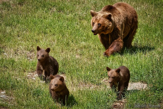 Mother bear and her three cubs - Maman ours et ses trois oursonnes