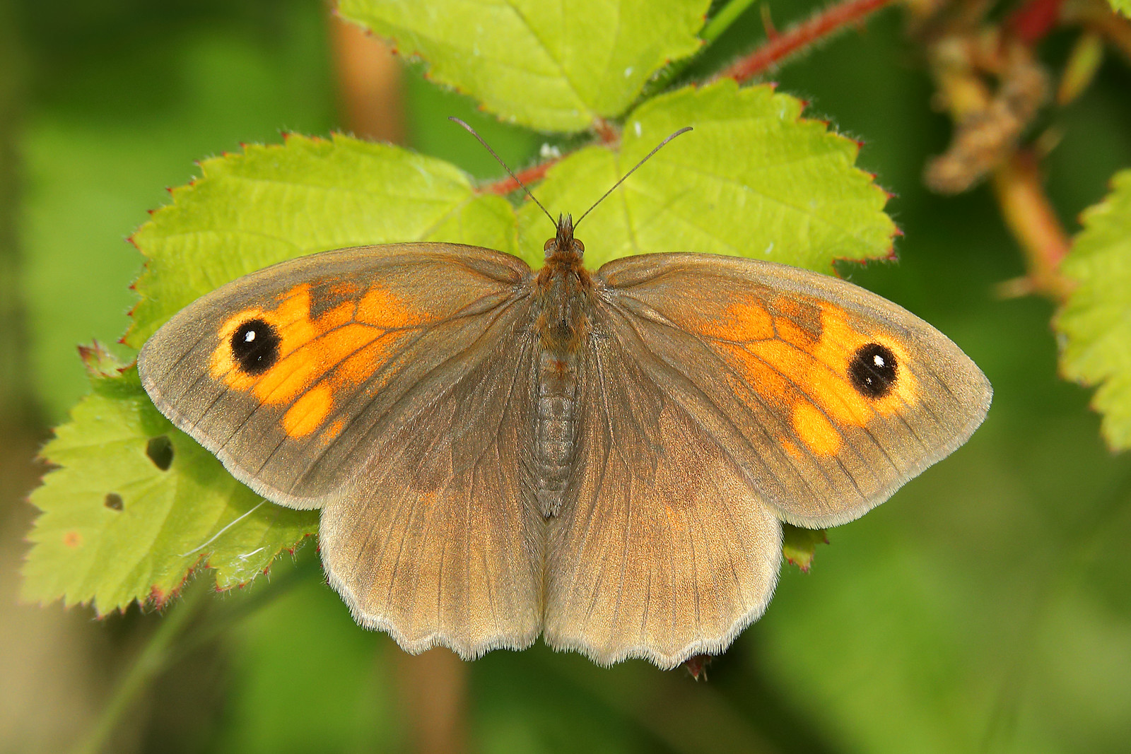 Meadow Brown Open Wings