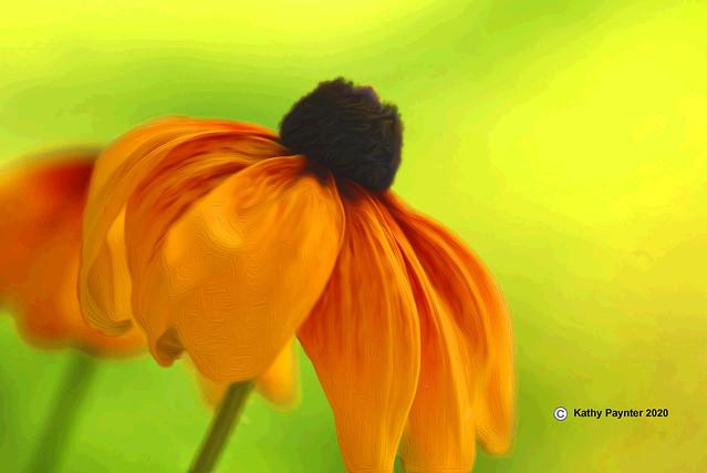 African Daisy 6534
