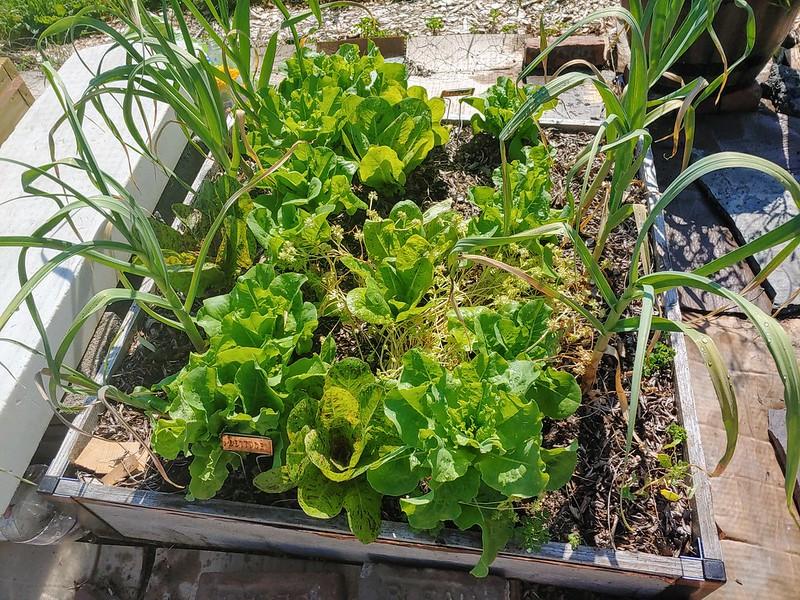 The lettuce/garlic/mache bed