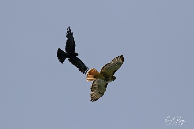 1.02877 Buse à queue rousse / Buteo jamaicensis borealis / Red-tailed Hawk