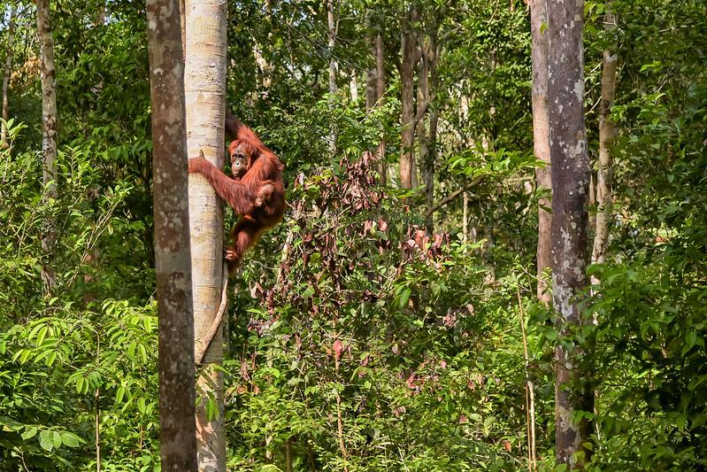 Orangutans At Tanjung Puting National Park