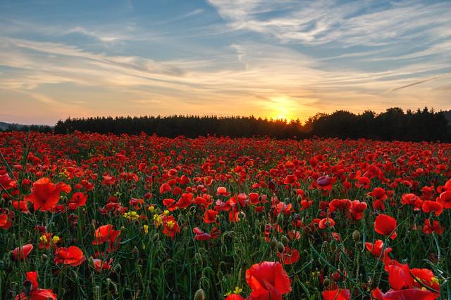 Sunset over poppy field in Northumberland, UK