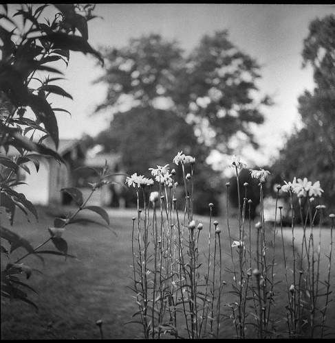 floralforms flowers blossoms buds neighborhood asheville northcarolina ricoh ricohflex ricohflexdiam 6x6 tlr twinlensreflex kodaktrix400 moerschecofilmdeveloper 120 120film film analog mediumformat monochrome monochromatic blackandwhite landscape