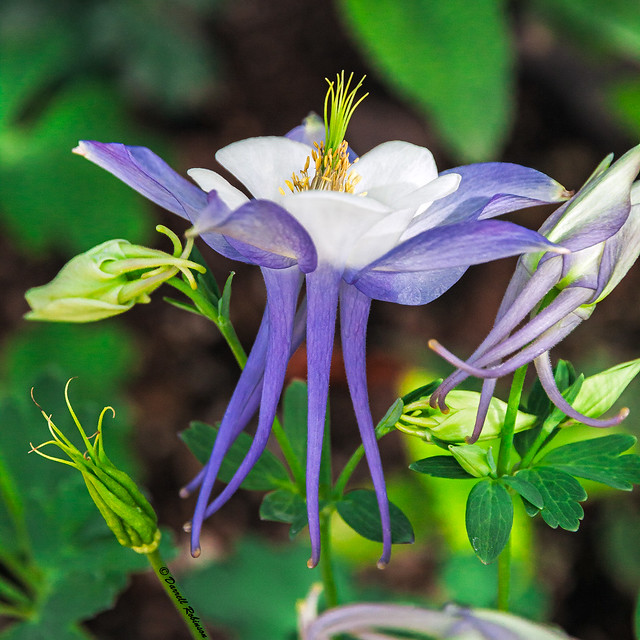Colorful Columbine