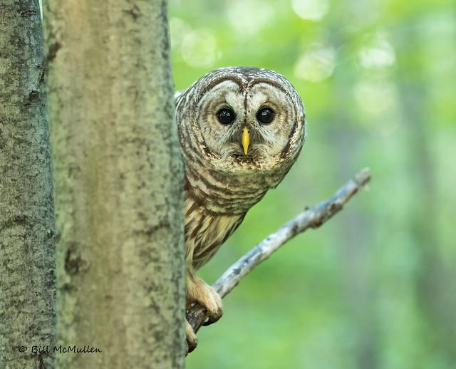 Barred Owl Peek