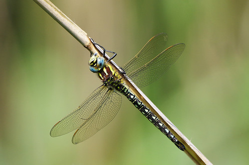 brachytronpratense cambridgeshire woodwaltonfen dragonfly hairy insect nature wild wildlife
