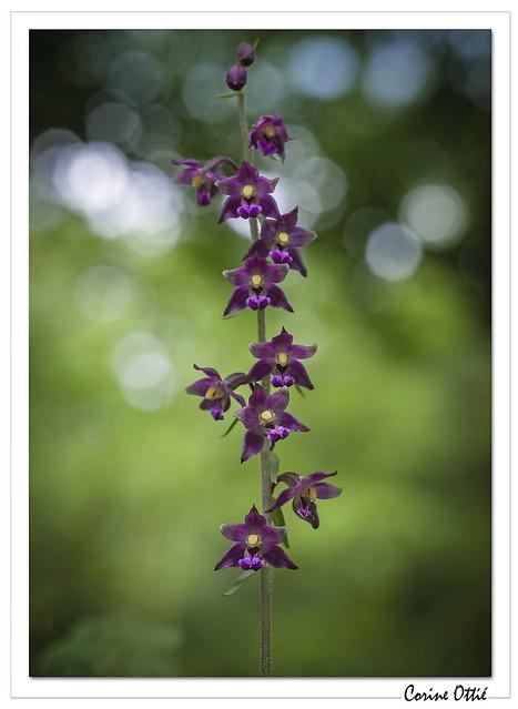Quelques Orchidées : Epipactis atrorubens.
