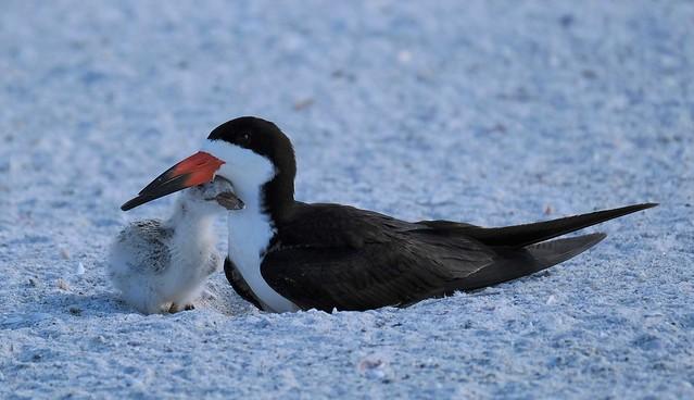 Black Skimmer Mom and baby