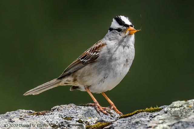 Leg Snacking Sparrow