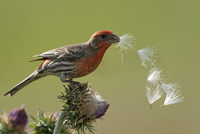 Male House Finch Propagates Thistle