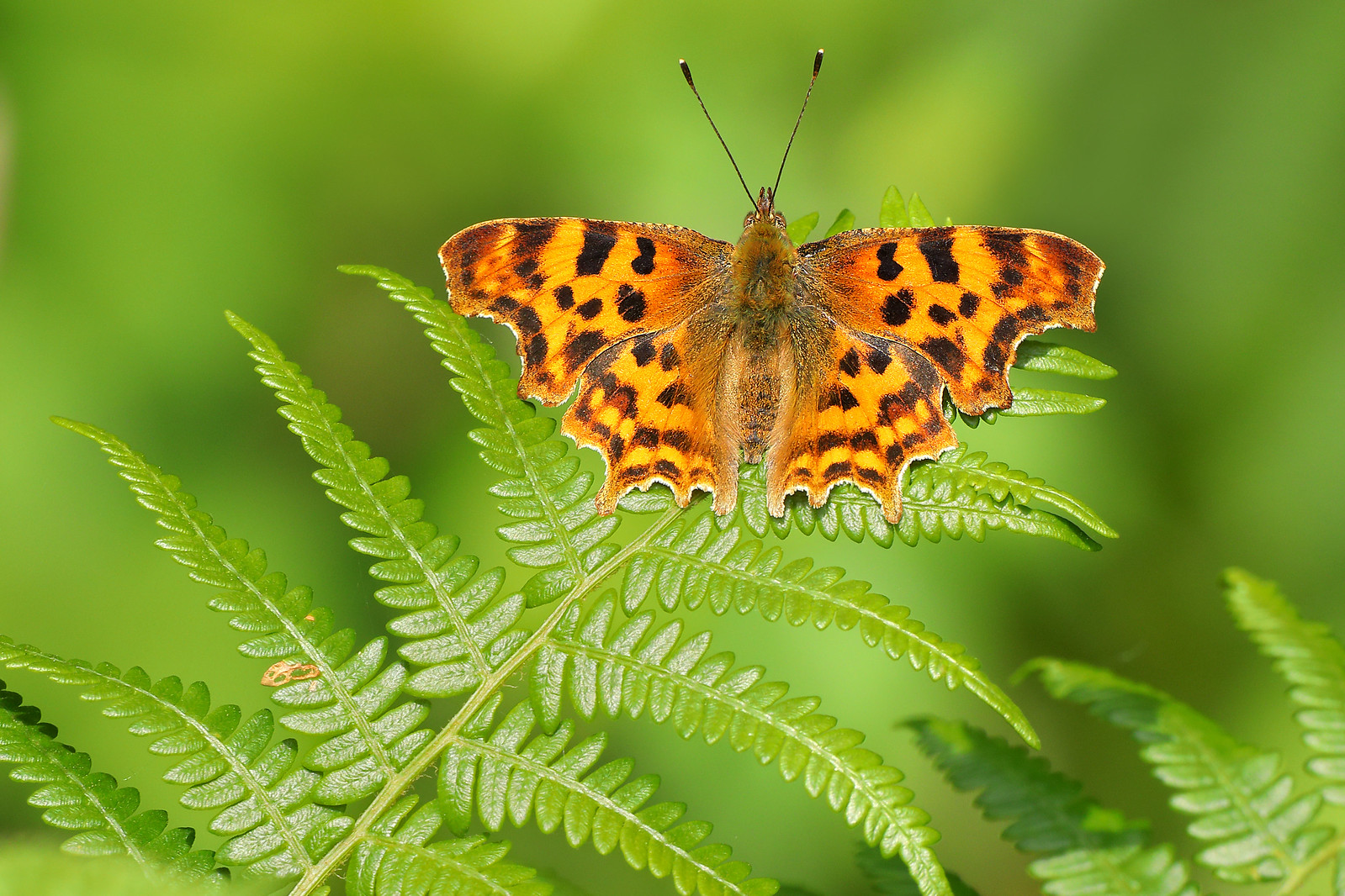 Comma Butterfly Open Wings