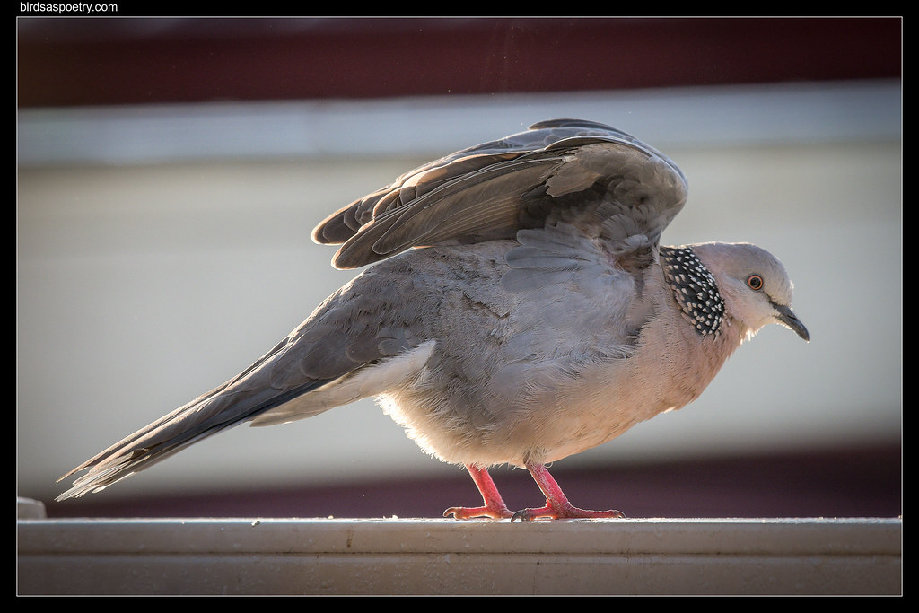 Spotted Dove: Tai Chi Master demonstrates