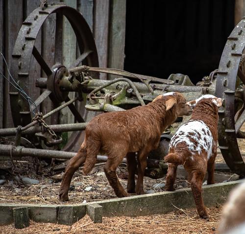newzealand christchurch willowbankwildlifepark buildings sheep endangeredspecies damarabreedofsheep