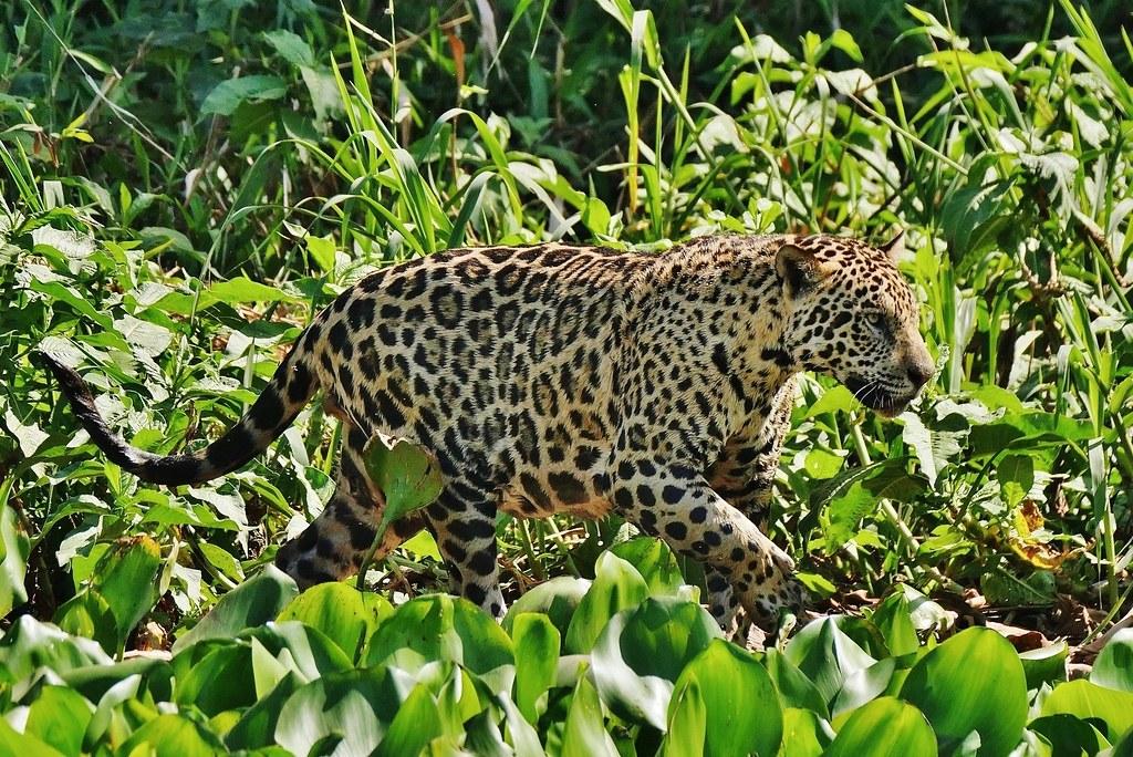 Jaguar At The Waters Edge (Panthera Onca)