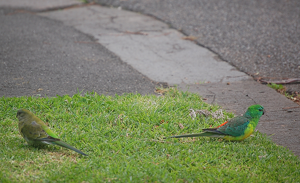 _Red-rumped_parrots_