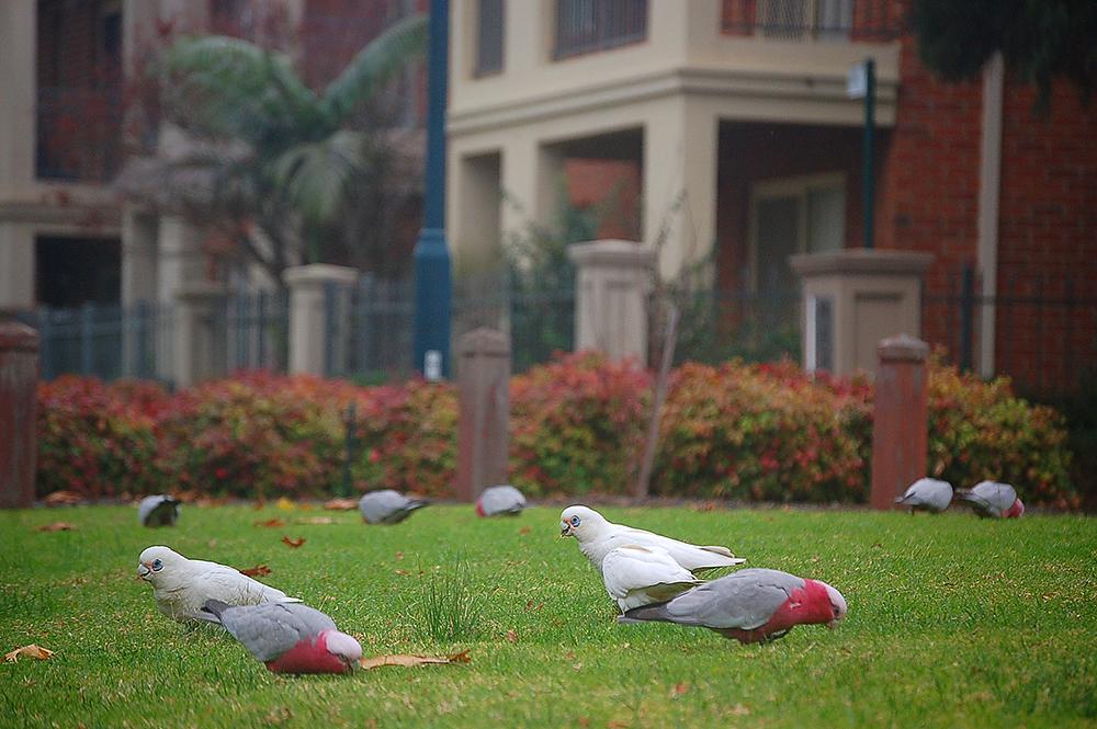 _mixed_parrots_1_
