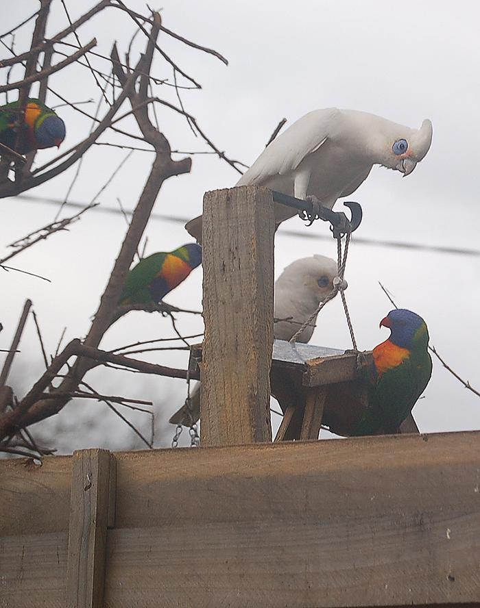 _mixed_parrots_5_