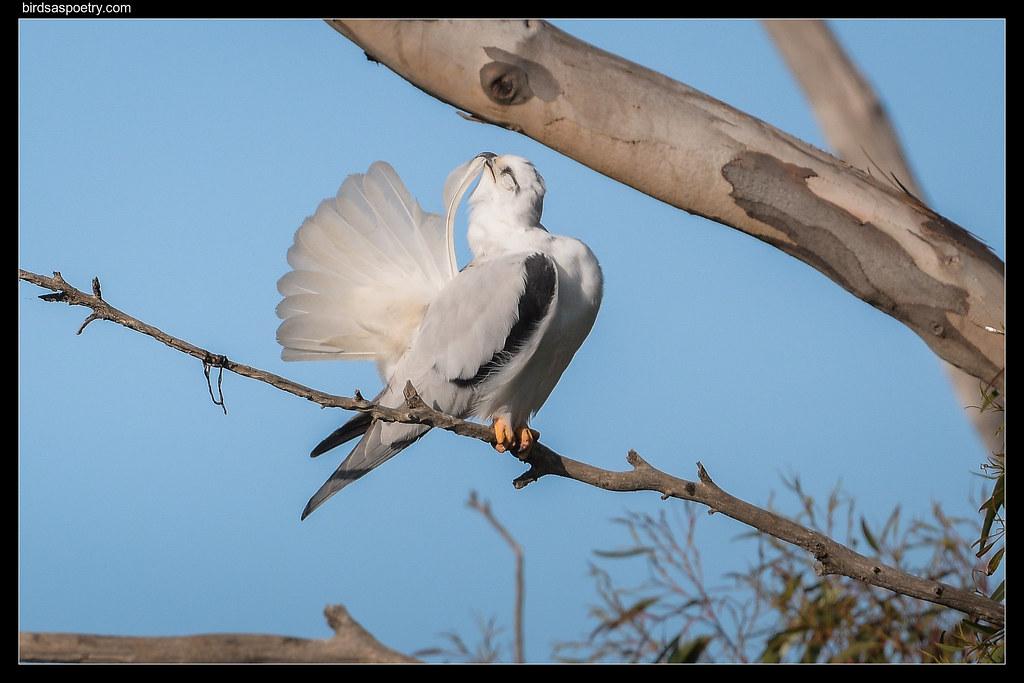 Black-shouldered Kite: Pre-flight Checks