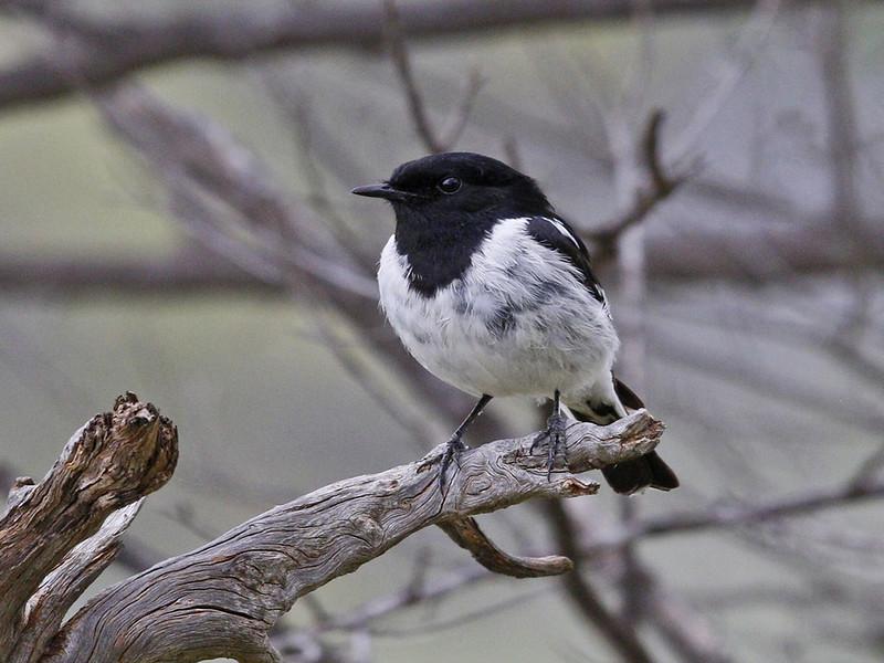 Hooded Robin (Male) (7946) - NB