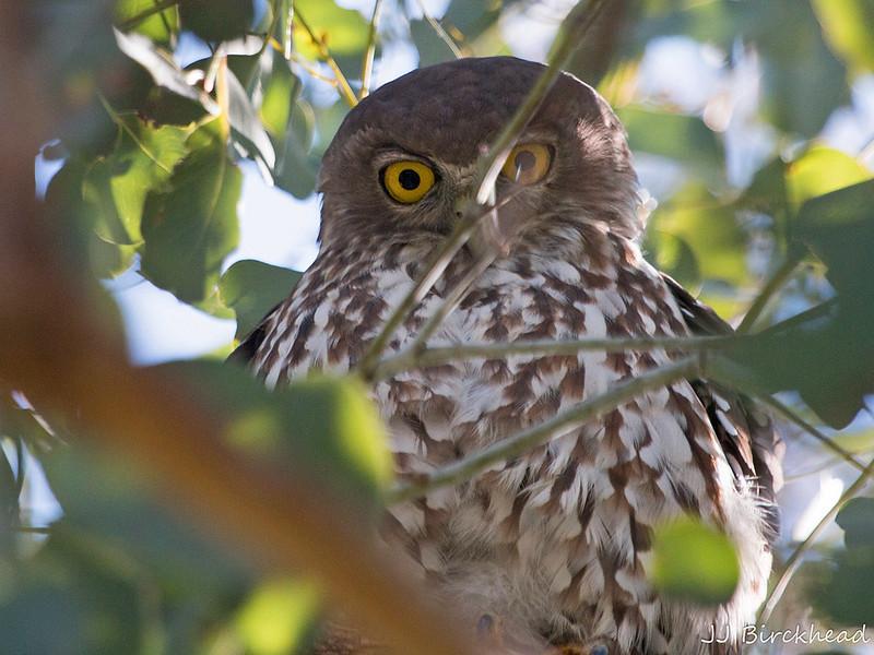 Barking Owl (9507-2) - JB