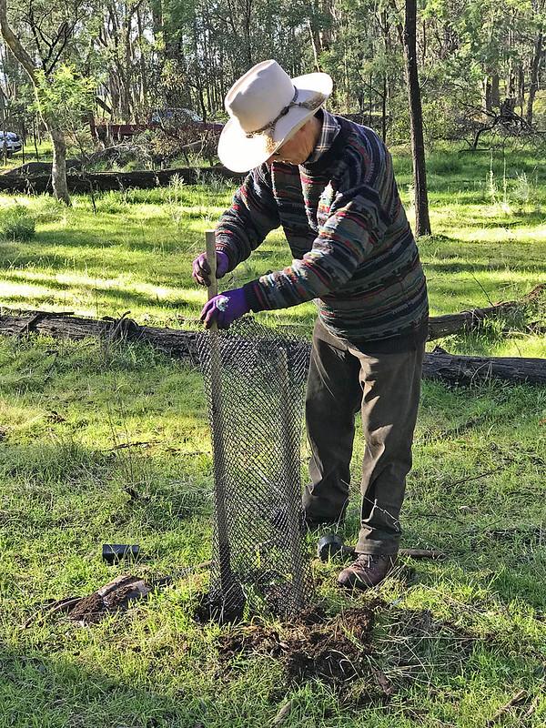 Banksia planting (5598) - NB