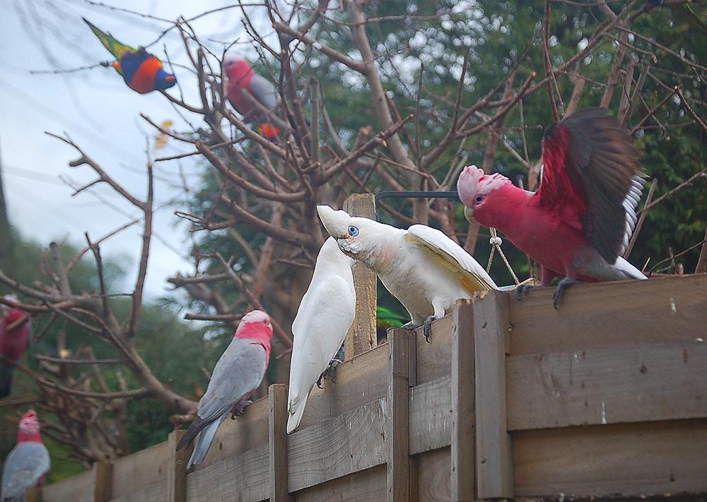 _mixed_parrots_2_