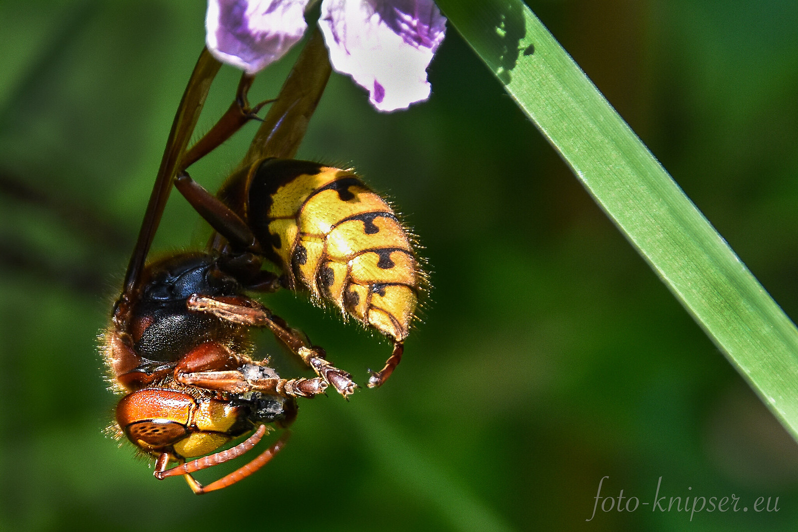Hornet eating a fly