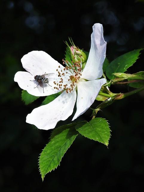 Flesh Fly On Wild Rose Petal