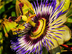 Macro shot of a passion flower bloom