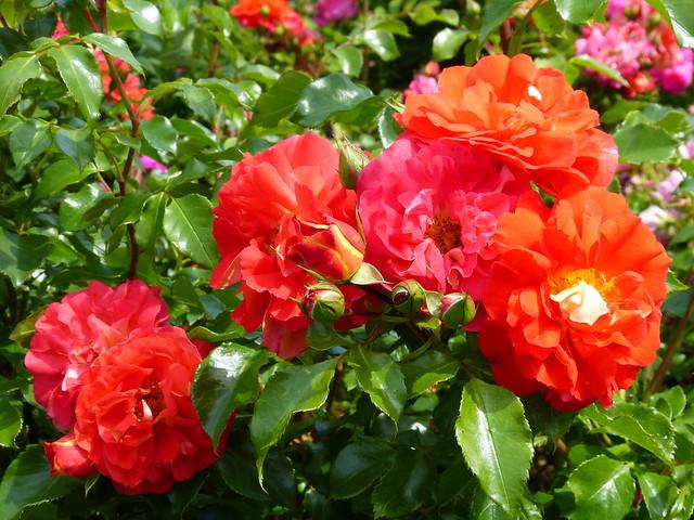 2020 Germany // Unser Garten - Our garden // im Juni // Rose Gebrüder Grimm - Beetrose MärchenRose // Kordes