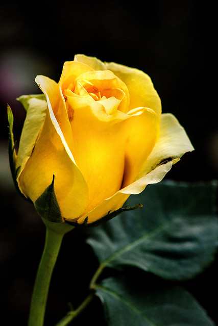 Yellow Rose BSG 3-0 F LR 6-7-20 J296