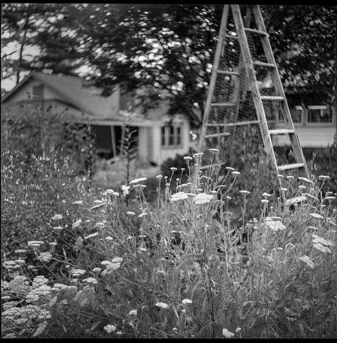 wildflowers ladder yard asheville northcarolina ricoh ricohflex ricohflexdiam tlr twinlensreflex kodaktrix400 moerschecofilmdeveloper 6x6 120 120film film analog mediumformat monochrome monochromatic blackandwhite landscape