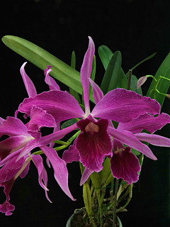 Cattleya (Laelia) purpurata var. sanguinea ' Mentzii ' | by emmily1955