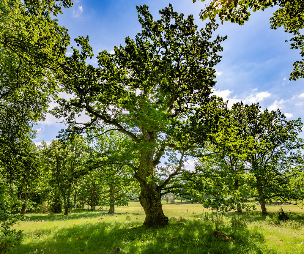 Oak in Kummelön nature reserve