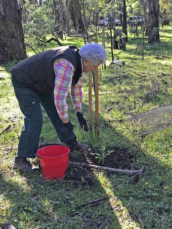 Banksia planting (5603) - NB