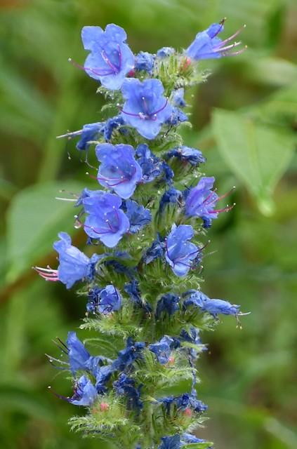Shenadoah NP   2020.06.20   7287-2 Echium vulgare (Viper's bugloss)