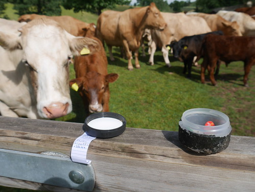 Geocaching with Cows