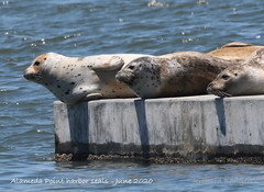 Harbor seals on edge of float