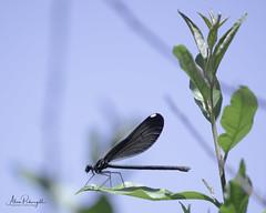 Mildmay Dragonfly