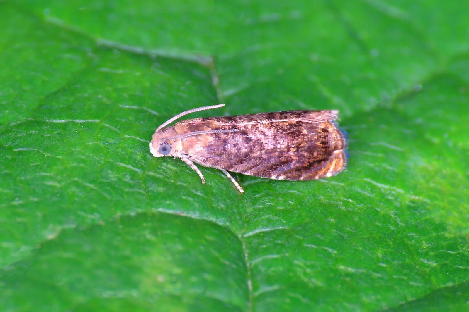 49.359 Pale-bordered Piercer - Grapholita janthinana