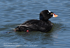 Surf Scoter (male) June 2020