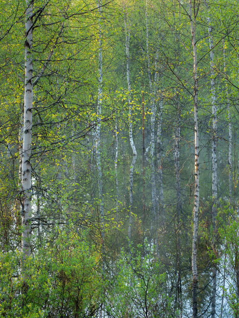 The flooded birch grove II