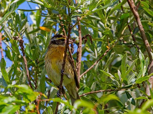 audubon audubonmagazine backyard warrencreek northcoast birdshare bird natureconservancy northerncaliforniaphotography arcata arcatacalifornia humboldt humboldtcounty flickrnature
