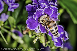 Bee on Duranta | by Roberto_Aloi