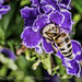 Bee on Duranta