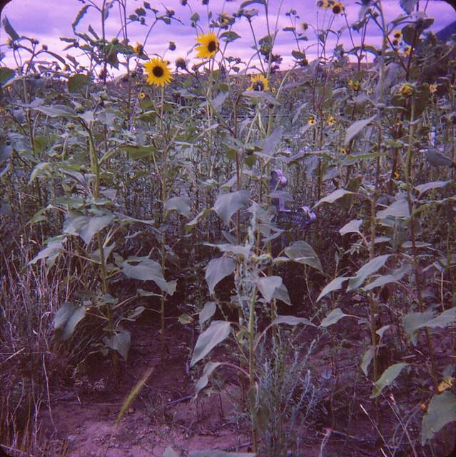 Mining Disaster Cemetery Sunflowers